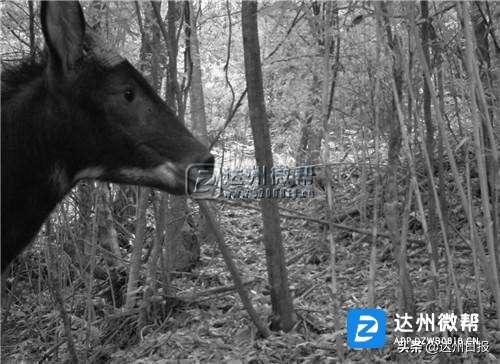 """万源市蜂桶山自然保护区首次拍到""""四不像""""——鬣羚"""